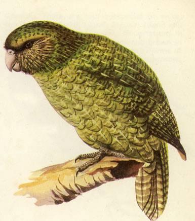 kakapo - JungleKey.fr Image